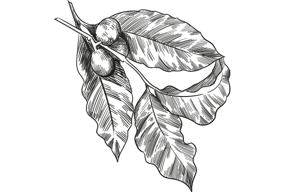 Coffee leave drawing